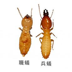 イエシロアリ 職蟻と兵蟻