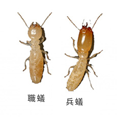 ヤマトシロアリ 職蟻と兵蟻